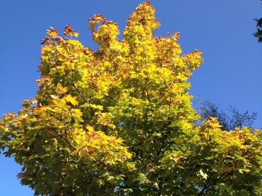 Herbst Bilder Ahorn